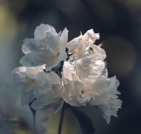 significado flor de jazmin